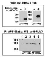 AP11138PU-N - HDAC9