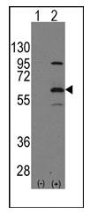AP11144PU-N - ELP3