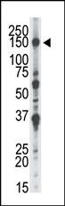 AP15020PU-N - NEK1