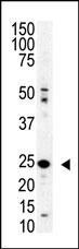 AP11263PU-N - SENP8