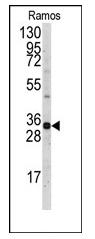 AP11305PU-N - MCL1