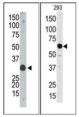 AP11344PU-N - APOBEC1