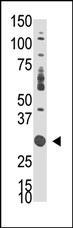 AP14447PU-N - DOK5