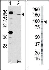 AP14338PU-N - CD332 / FGFR-2