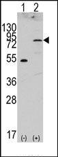 AP14344PU-N - CD334 / FGFR4