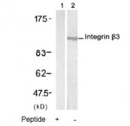 AP02622PU-N - CD61 / ITGB3