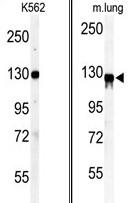 AP14070PU-N - Vinculin (VCL)