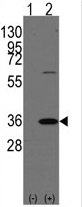 AP13985PU-N - Prohibitin-2
