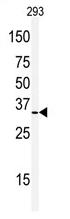 AP13986PU-N - Prohibitin-2