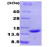 AR09190PU-L - CHGA (Vasostatin-2 chain)