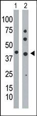 AP13683PU-N - Phosphoglycerate kinase 1 (PGK1)