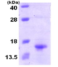 AR09197PU-L - XCL1 / Lymphotactin