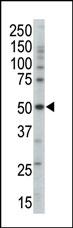 AP13603PU-N - AMPK gamma-3 chain / AMPKG3