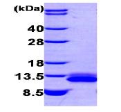 AR09203PU-N - CXCL12 / SDF1