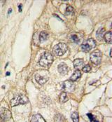 AP11373PU-N - Cadherin-6