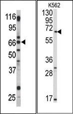 AP13490PU-N - GPR37 / PAEL Receptor
