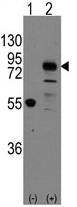 AP11402PU-N - Cadherin-9