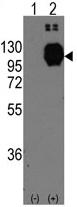 AP11404PU-N - Cadherin-13