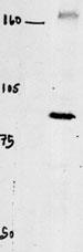 AP13384PU-N - CLCN4