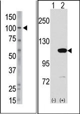 AP13189PU-N - Major Vault Protein