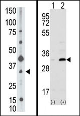 AP13224PU-N - CD82