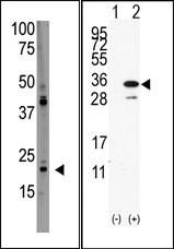 AP13232PU-N - PDAP1