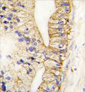 AP11466PU-N - Cadherin-7