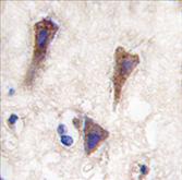 AP11470PU-N - Cadherin-12