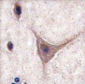 AP11486PU-N - Cadherin-10