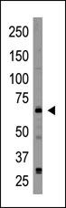 AP13098PU-N - Cryptochrome-2