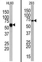 AP11537PU-N - CD286 / TLR6