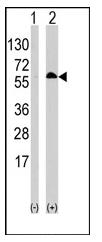 AP12652PU-N - RELA / NF-kB p65