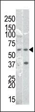 AP12653PU-N - RELA / NF-kB p65