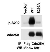 AP12579PU-N - CDC25A