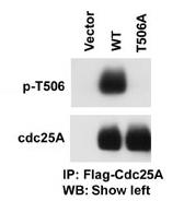 AP12581PU-N - CDC25A