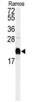 AP11605PU-N - Calmodulin