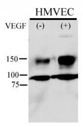 AP12614PU-N - CD309 / VEGFR-2 / Flk-1
