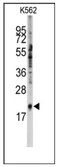 AP12499PU-N - snRNP-C / SNRPC