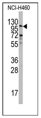 AP12539PU-N - Exonuclease 1 (EXO1)