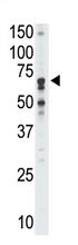 AP11626PU-N - CD170 / SIGLEC5
