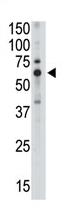 AP11627PU-N - CD170 / SIGLEC5