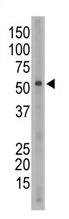 AP11629PU-N - CD327 / SIGLEC6