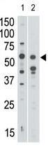 AP11630PU-N - CD328 / SIGLEC7