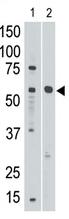 AP11632PU-N - CD329 / SIGLEC8