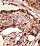 AP11634PU-N - CD329 / SIGLEC9