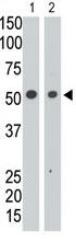 AP11641PU-N - CD328 / SIGLEC7