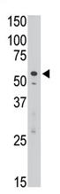 AP11643PU-N - CD328 / SIGLEC7