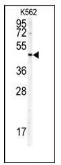 AP12410PU-N - Doublecortin