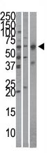 AP11806PU-N - KPNA4 / Importin alpha-4
