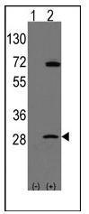 AP12319PU-N - Prohibitin / PHB